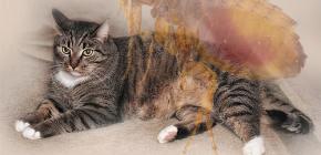Qué hacer si un gato tiene pulgas.
