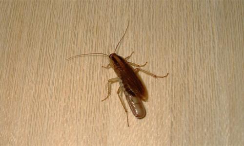 Donde las cucarachas se esconden en el apartamento ...