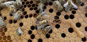 El uso de la tintura de polilla de abeja para el tratamiento de enfermedades.