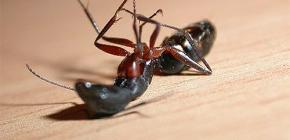 Elegir un remedio para las hormigas caseras en el apartamento.
