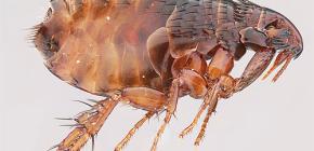 ¿Cuántas pulgas viven sin un animal y pueden vivir en una persona?