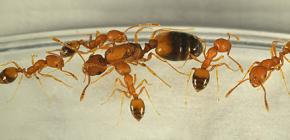 ¿De dónde vienen las hormigas en la casa y necesitas tener miedo de ellas?