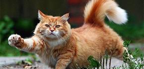 Cómo eliminar de forma rápida y segura las pulgas de un gato.
