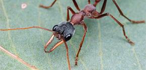 Acerca de Bulldog Ants