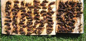 Cómo tratar eficazmente con avispones y llevarlos a la casa de campo o colmenar