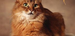 Cómo deshacerse de las pulgas de un gato: tratamos a su mascota usted mismo