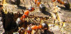 Cómo se preparan las hormigas para el invierno.