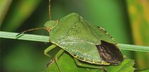 ¿Qué aspecto tiene un insecto verde y merece la pena temerlo?