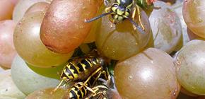 Cómo proteger la cosecha de uva de las avispas y protegerla durante todo el período de maduración.