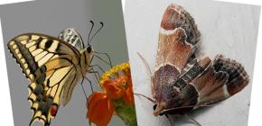 ¿Por qué la polilla no tiene probóscide, no es una mariposa?