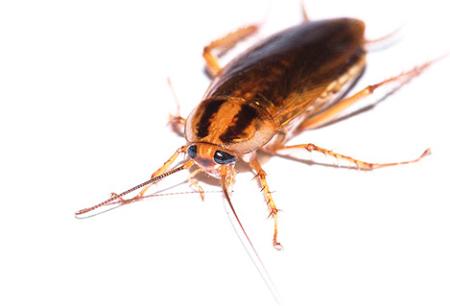 Remedio eficaz para las cucarachas Global (Globol)