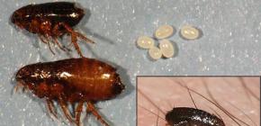 Sobre las pulgas caseras y cómo deshacerse de ellas.
