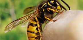 ¿Son útiles las picaduras de las avispas o, por el contrario, dañinas para la salud humana?