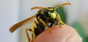 Las consecuencias de las picaduras de avispas: ¿qué pueden ser los ataques peligrosos de estos insectos?