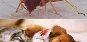 ¿Pueden las chinches picar a los animales domésticos (gatos, perros, pollos)?