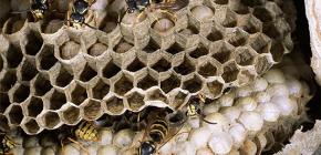 Sobre avispas silvestres y sus larvas.