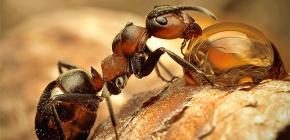 Fotos de diversas especies de hormigas y características interesantes de su vida.