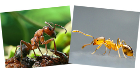 Sobre el bosque rojo y las hormigas domésticas, así como sus diferencias.