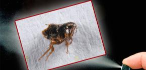 Cómo destruir las pulgas en el apartamento.