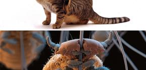 ¿Los gatos tienen piojos y cómo eliminar los pequeños parásitos del pelo de las mascotas?