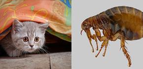 En la lucha efectiva contra las pulgas en el apartamento.