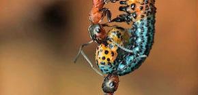 ¿Cuánto pesa una hormiga y cuánto peso puede levantar?
