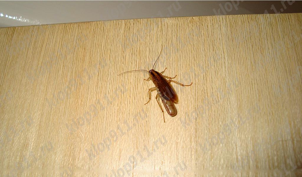 Cucaracha hembra con un huevo (edema)