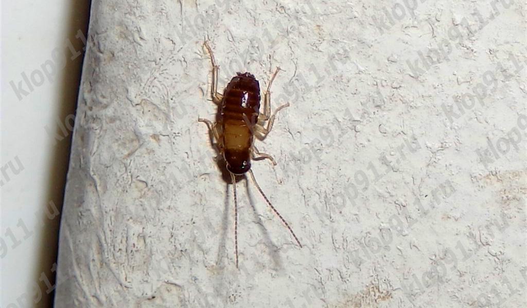 La ninfa de la cucaracha no tiene alas.