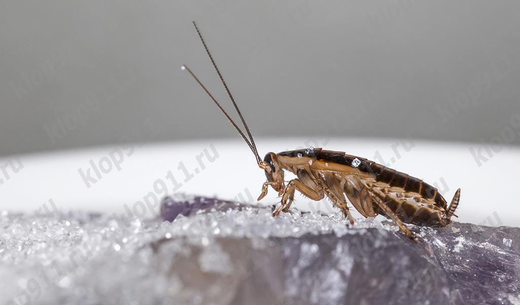Cucarachas omnivoras