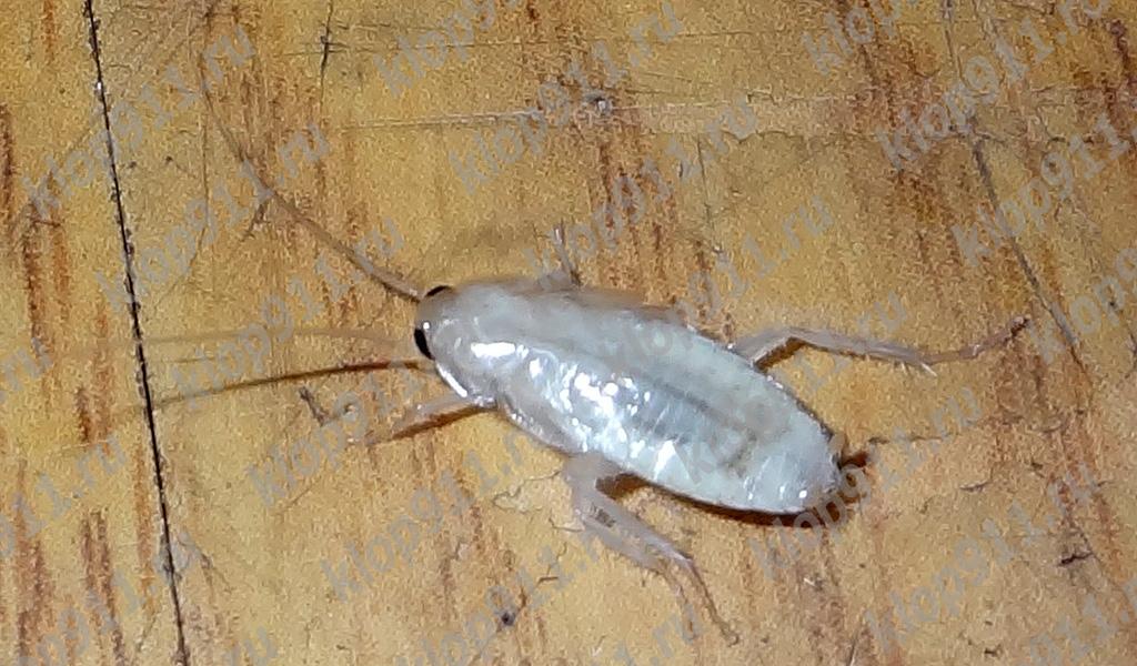 Cucaracha albina