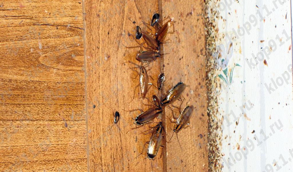 Bacterias en las patas de la cucaracha.