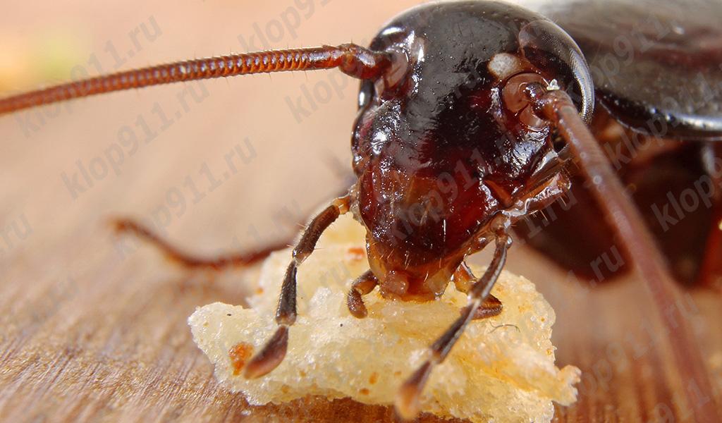 La cucaracha come pan (foto macro)