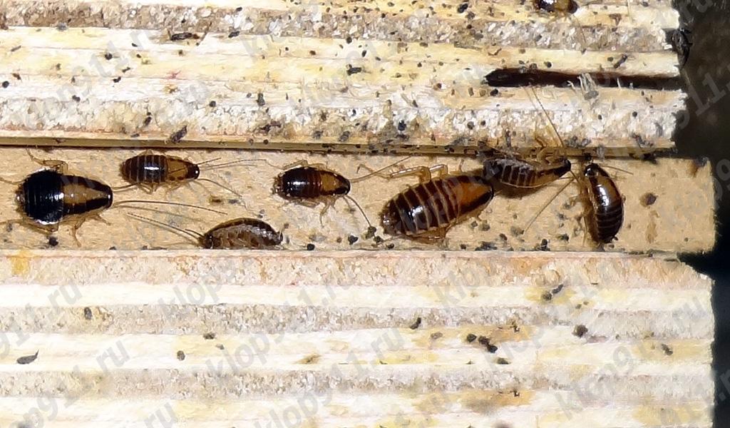 La acumulación de ninfas cucarachas rojas en los muebles.