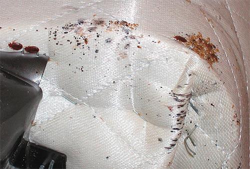 Si los insectos se encuentran en el sofá, se pueden congelar afuera o tratar con vapor caliente.