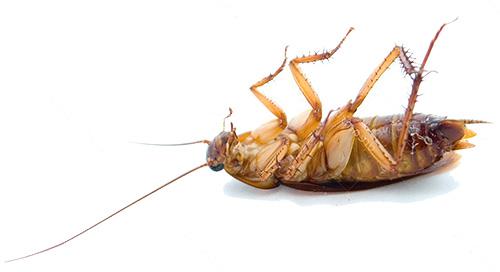 Las cucarachas mueren a bajas temperaturas.