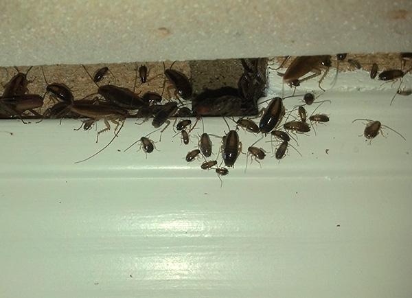 A pesar de que los geles insecticidas matan a las cucarachas lentamente, sin embargo, son uno de los medios más efectivos para combatir estas plagas.