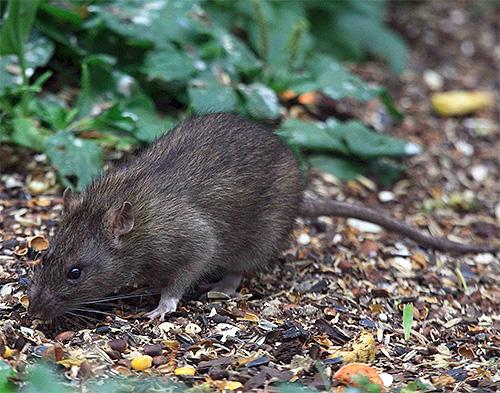 La rata gris es portadora de la plaga.