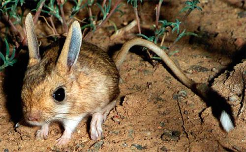 El pequeño Jerboa - un portador de plagas en Asia Central