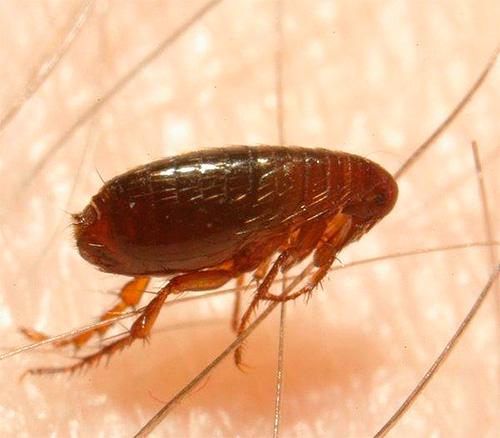 El cuerpo de una pulga está protegido de forma fiable de la presión mecánica.
