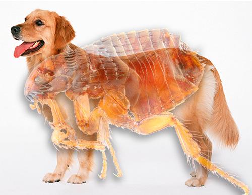 Familiarícese con la apariencia de las pulgas en los perros y lo peligrosos que pueden ser.