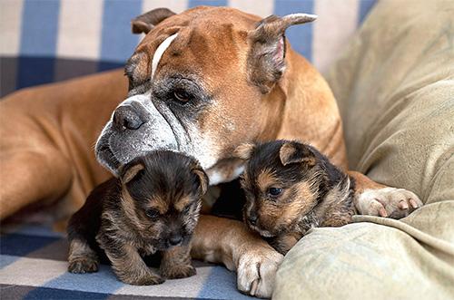 Con un perro de pulgas, los parásitos se transmiten fácilmente a los cachorros.