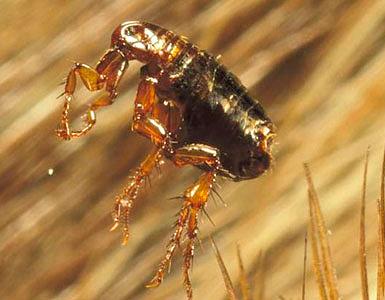 Foto de una pulga de perro.