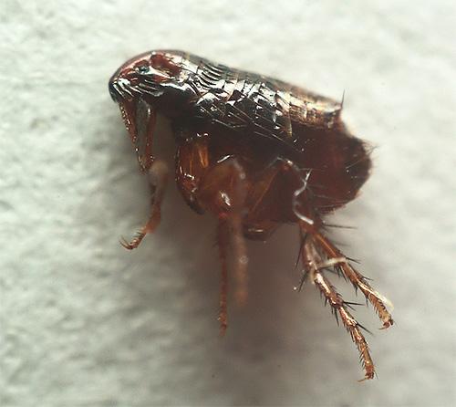 El cuerpo de una pulga de perro es ligeramente oblongo y plano.