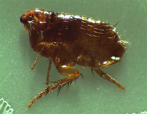 Un rasgo característico de las pulgas son sus largas patas traseras.