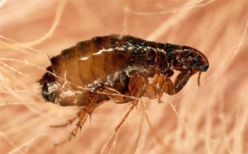 Las pulgas en los perros no viven mucho tiempo y saltan de ellos después de alimentarse.