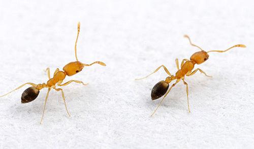 Si ocasionalmente se encuentran hormigas en la casa, es útil tomar medidas preventivas.