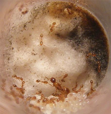 El nido de hormigas domésticas puede ubicarse tanto en el apartamento como en el exterior.