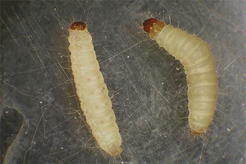 Las larvas de la polilla (y no las mariposas) son las plagas que arruinan nuestros productos y ropa.