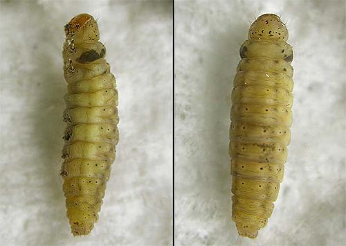 Foto de larva polilla de cerca
