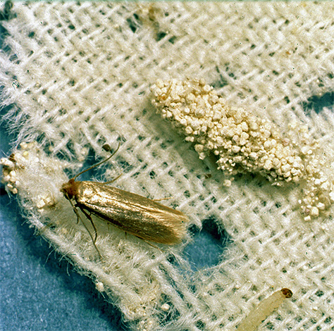 Mariposa larva y mariposa